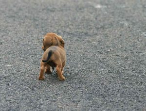 sausage_dog